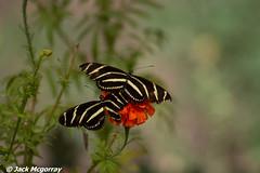 Zebra longwing (Heliconius charithonia) (jackmcgo210) Tags: thearboretumatflagstaff thearboretum flagstaffarizona flagstaff az 2018