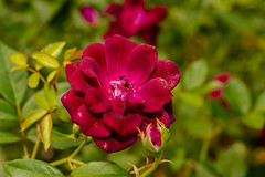 I opened my petals for you (gdajewski) Tags: d750 dajewski nikond750 sb900 schenectadyrosegarden tokina100mmf28atxm100afprodmacro tokina100mmf28macro closeup flash gdajewski macro rose rosegarden speedlight
