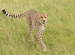 Male Cheetah - Acinonyx jubatus (rosebudl1959) Tags: 2018 kenya masaimara zebraplains cheetah male