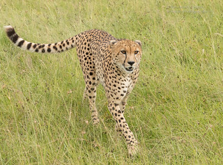 Male Cheetah - Acinonyx jubatus