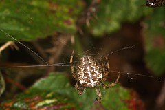 7D__5536 (Tyrone (Ty) Williams) Tags: kenfignnr nocturnalhedgerow canon 7d 70200l canon7d exxtensiontubes macro flash ringflash nature spider arachnid wildlife