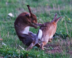 Maelstrom (-Porsupah-) Tags: wild wildlife oryctolagus cuniculus rabbit bunny autumn fall twilight evening september 2018 cloudy fight conflict action two motion blur rapid