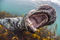 say ARRRGH (Mike Clark 100) Tags: gray seal farne islands england marine mamal diver teeth jaws fun encounter