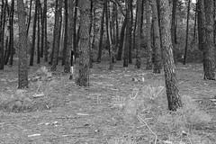Half pine half human (Y-LG) Tags: 06000000 06006000 06006003 continentsetpays environnement europe fr fra forêts france iptcnewscodes iptcsubjects laturballe lieux loireatlantique paysdelaloire ressourcesnaturelles environmentalissue forests naturalresources