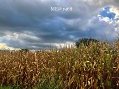 Grano a cielo aperto (iw2ijz) Tags: manerba lagodigarda garda brescia lombardia lago lake granoturco campo