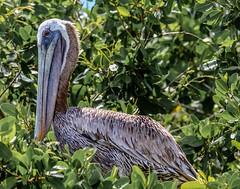 Brown Pelican Roosting (backyardzoo) Tags: brown delta pelican yucatan