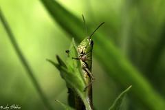 Green On Green (Luca Bobbiesi) Tags: macro nature green grasshopper cavalletta trentino trentinoaltoadige canoneos5dmarkiv canonef100mmf28macrousm canonspeedlite580exii flash