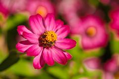 DSCF4511.jpg (RHMImages) Tags: garden xt2 summer flowers crystalhermitage fuji nevadacounty nevadacity fujifilm anandavillage