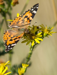 Painted Lady Butterfly (ianrobertcole1971) Tags: painted lady butterfly insect invertebrate macro nikon d7200 nature