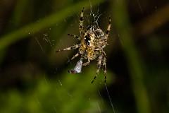 752A6495 (Trefor2011) Tags: norfolk orbwebspider arachnid macro prey web wrapping