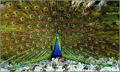 My first interview with a peacock (piontrhouseselski) Tags: cz midle moravia kromeriz bird