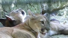 pumas (surlesailesdumonde très peu présente) Tags: beauval zoo parc animalier animal puma
