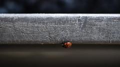 On my way (ZeGaby) Tags: pentax100mmmacro pentaxk1 ladybug coccinelle naturephotography macrophotography harvest vendanges