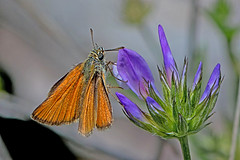 Thymelicus sylvestris - the Small Skipper (female) (BugsAlive) Tags: butterfly mariposa papillon farfalla schmetterling бабочка conbướm ผีเสื้อ animal outdoor insects insect lepidoptera macro nature hesperiidae thymelicussylvestris smallskipper hesperiinae wildlife ardèche plateaudesgras bidon liveinsects france nikon105mm bugsalive