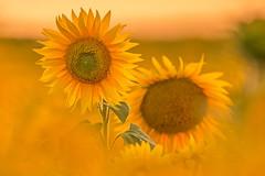 here comes the Sun (SonjaS.) Tags: sonnenblumen sunflower flower tele canon6d blumen sonnenuntergang sonne gegenlicht ef100400