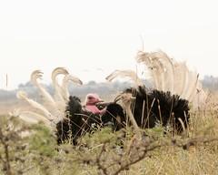 Featered friend (Nagarjun) Tags: struthiocamelus commonostrich sex mating nairobinationalpark kenya wildlife birdlife bird avifauna