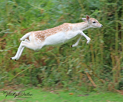 A flying fawn (vickyouten) Tags: deer babydeer fawn fallowdeer nature wildlife canon canon1300d dunhammassey altrincham vickyouten