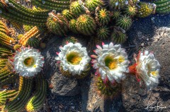 Trumpet Flower Cactus (Echinopsis) (Travel to Eat) Tags: echinopsis losangelesarboretum red white blooming blooms trumpetflowercactus