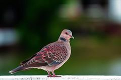 Rock Dove (Columba livia) (Changer4Ever) Tags: nikon d750 150600mm bird animal life nature outdoor color bokeh dof depthoffield feather wildlife 150600mmf5063 rockdove columbalivia