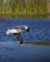 Deploy landing gear (Arranion) Tags: seagull landing gear birds feather feathers canon 5d2 14x extender wildlife animal africa telephoto