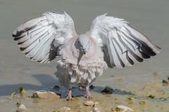 Collared Dove Sept 2018 (jgsnow) Tags: purple bird dove collareddove preening