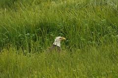 IMG_8712           g-5 (george_gww) Tags: baldeagle haliaeetusleucocephalus