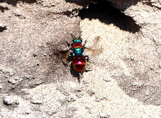 Jewel wasp (2) 21.7.18