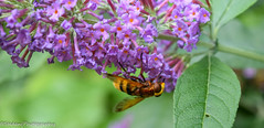 Upside down Hover Fly (stedanphotography) Tags: nikon d3300 macro insect