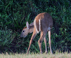 09-20-18-0035643 (Lake Worth) Tags: animal animals everglades southflorida florida nature outdoor outdoors wetlands wildlife deer whitetaileddeer