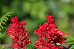 Lill (Jaan Keinaste) Tags: pentax k3 pentaxk3 eesti estonia lill flower punane red