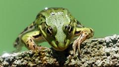 La grenouille de Bois Pila (Guyaux Patrice) Tags: batracien grenouille