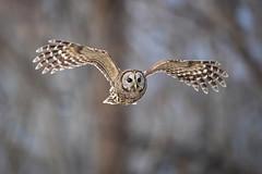 Flight... {Explored} (DTT67) Tags: barredowl owl birdinflight raptor flight bif 1dxmkii canon maryland wildlife nature
