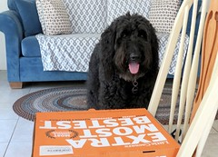 Happy National Dog Day!  Share your pizza! (Bennilover) Tags: dogs pizza sharing crusts benni labradoodle bennigirl happy nationaldogday giving