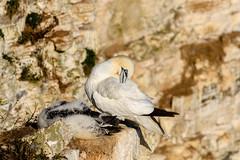 Bempton-6 (J Harwood Images) Tags: 200500 2018 bird d500 england ganet nikon goldfinch yorkshire