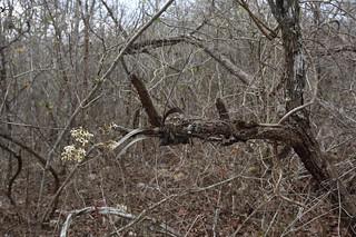 Encyclia incumbens in habitat