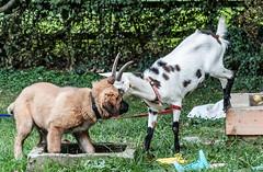 Three Goats against a Dog - Drei Ziegen gegen einen Hund 023_Web-compressed (berni.radke) Tags: three goats dog drei ziegen ziege gegen hund goat koza geit cabra capra cane perro cão hond chien kampf match spiel gevecht combat luta lucha struggle fight fighting game