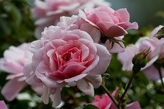 beautiful pink roses (kalakeli) Tags: plants pflanzen september 2018 rosen roses flowers blüten eifel