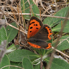 Small Copper (Tim Worfolk) Tags: lycaenaphlaeas smallcopper lycaenidae