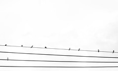 Rest in wire. (Pablin79) Tags: wire powerline electricity steelcable telephoneline steel lines light sky cloudy birds animals monochrome black white blackandwhite posadas misiones argentina