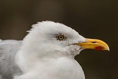Gabbiano Bianco Reale (simonealbini) Tags: canoneos70d 70200l 100400l england cornwall uccello cielo bird flywings wind volare fly gabbiano bianco reale seagull