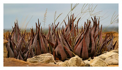 2018 02 03_Aloe, aloe, aloe-1 (Jonnersace) Tags: aloe rockaloe aloepetricola succulent rocks outcrop krugernationalpark canon canon7dii canon100400ii wild plant sky wildwingssafaris southafrica aloechabaudii dwalaaloe