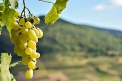 Vignes du Beaujolais (cassandredahoui) Tags: raisin grappe vigne beaujolais montagne france paysage verdure