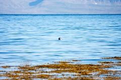 Seal in Iceland (Nightwisher) Tags: islanda iceland seal foca mare sea nature wild natura