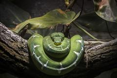 Serpent ratier des mangroves (éric landreau) Tags: serpent vert reptiles animal nature python faune légume ecaillée grosplan sauvage vipera jardinzoologique toxique ericlandreau