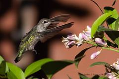 Hummingbird 5 (nathantw) Tags: hummingbird green bird nectar pollinator nathantw nathantwong nikkor 400mm f56 edif ais d810 nikon