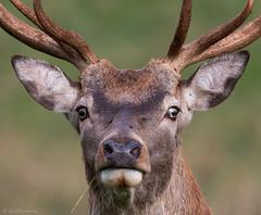 Red deer, Ashton Court Bristol (simarknewman) Tags: bristol ashton court deer 80d