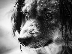 S a D   E y e S (Vivi Black) Tags: augen streetphotography hund thailand animals closeup blackandwhite contrast light asia animal dog