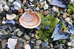 Kaleidoscope (Sarah.Goodman) Tags: shell beach fall rock sand muscle water sea ocean cove seaweed blue green pink white crab barnacle butterfly broken kaleidoscope shore crustacean macro