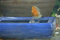 robin in my secret garden (photos4dreams) Tags: photos4dreams photos4dreamz p4d robin rotkehlchen bird birdie birdy red garden zahm tamed tame piepmatz mysecretgarden canoneos5dmark3 canoneos5dmarkiii vogel
