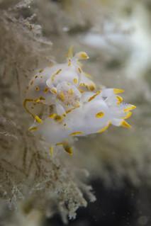 Jiggy (Polycera quadrilineata)